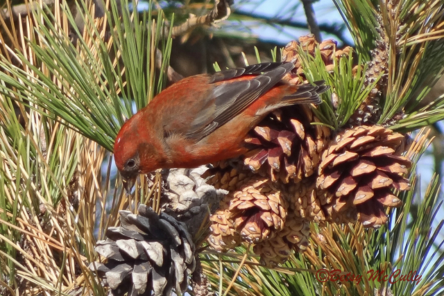 photo of Red Crossbill