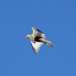 photo of Rough-legged Hawk overhead