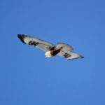 photo of Rough-legged Hawk