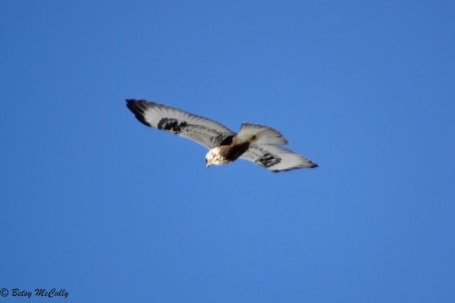photo of Rough-legged Hawk
