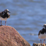 photo of two ruddy turnstones in breeding plumage