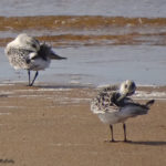 Photo of juvenile Sanderlings preening