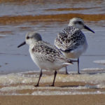 Photo of juvenile Sanderlings