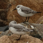 Photo of sanderlings resting