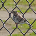 photo of Savannah Sparrow