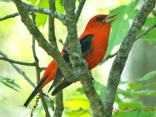 photo of male scarlet tanager in spring