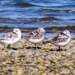 photo of semipalmated sandpipers