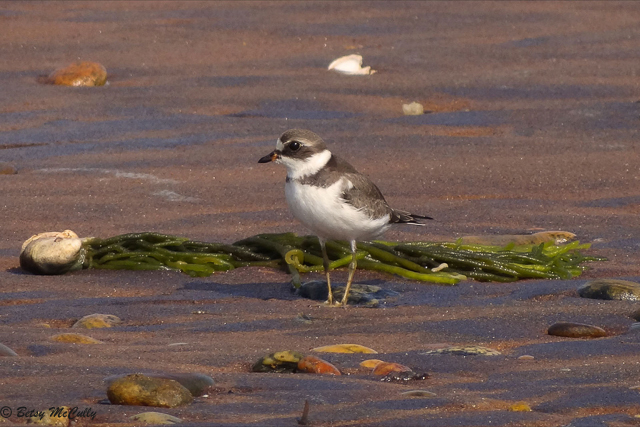 Photo of Semipalmated Plover, non-breeding adult