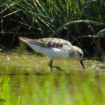 Photo of Semipalmated Sandpiper