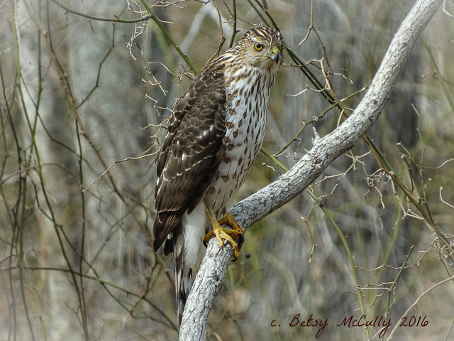 photo of Sharp-shinned Hawk