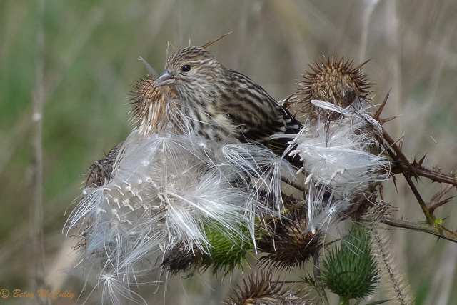 photo of pine siskin feeding on wild thistle seeds