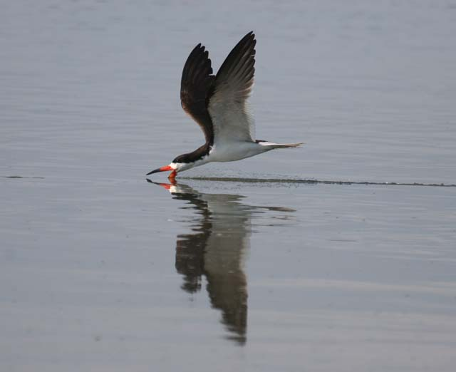 photo of Black Skimmer
