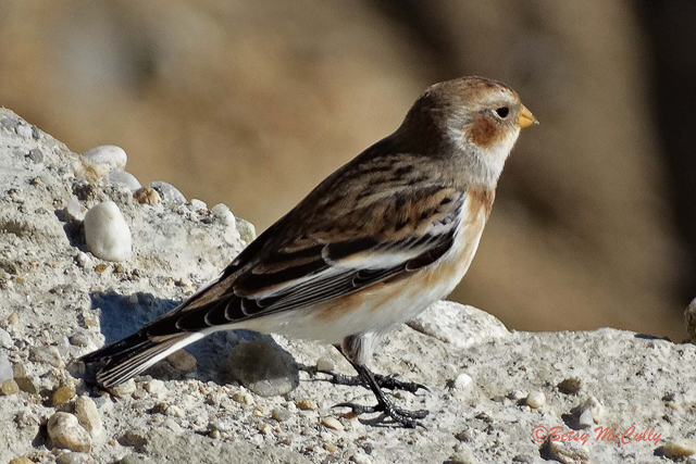 photo of Snow Bunting in fall