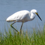 Photo of breeding Snowy Egret