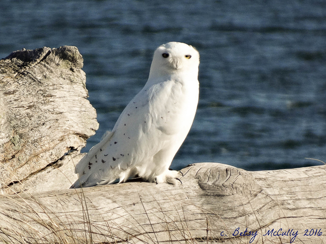 Photo of adult Snowy Owl