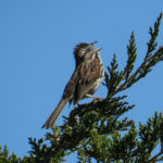 photo of Song Sparrow singing
