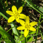 photo of stargrass in flower