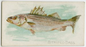 postcard print of striped bass