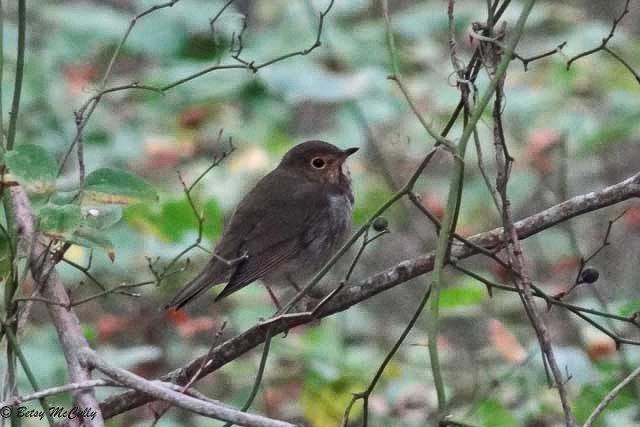 photo of migrating Swainson's Thrush