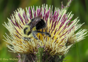photo of bumblebee in Yellow Thistle