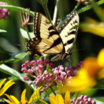 Photo of Tiger Swallowtail in milkweed