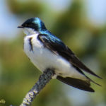 photo of male Tree Swallow