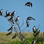 Photo of tree swallows staging in fall