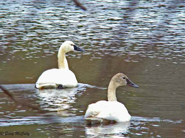 Photo of tundra swans
