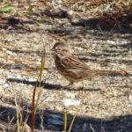 Photo of Vesper Sparrow
