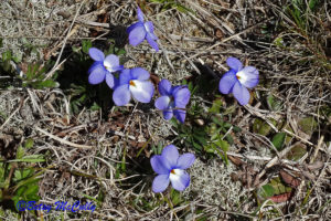 photo of Bird's Foot Violet (Viola pedata)