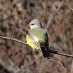 photo of Western Kingbird
