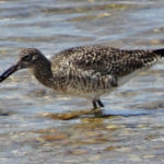 Photo of Willet in water