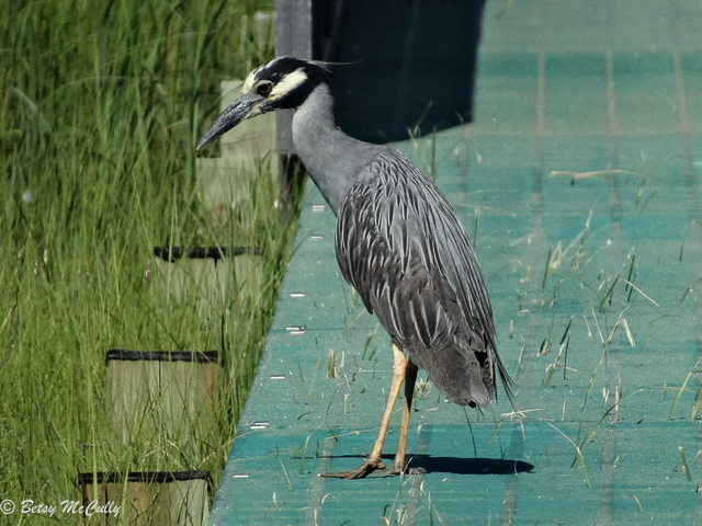 photo of Yellow-crowned Night Heron adult