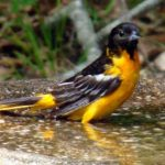 photo of Baltimore Oriole adult male