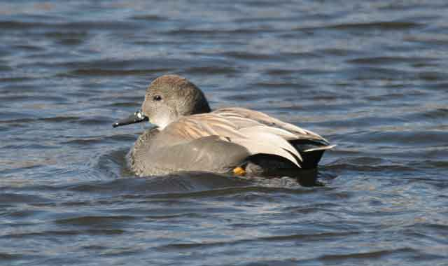 photo of Gadwall in winter