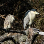 photo of Black-crowned Night Heron adult and juvenile