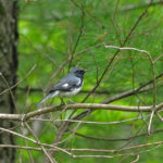 Photo of male Black-throated Blue Warbler