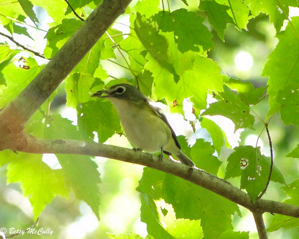 photo of Blue-headed Vireo