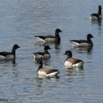 photo of Brant flock in winter