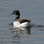 photo of Brant goose