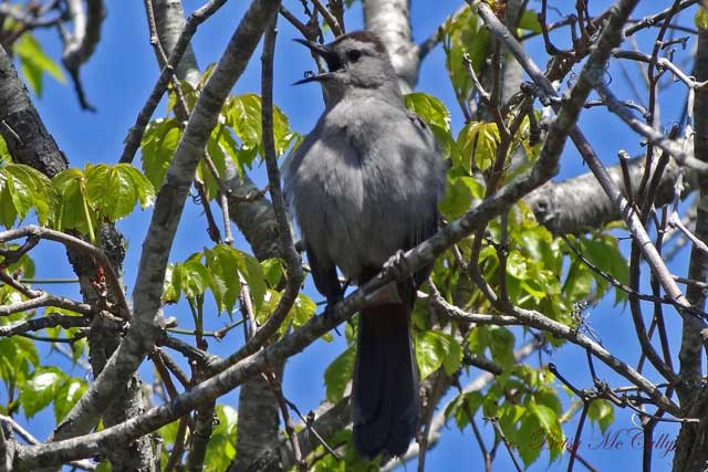 photo of catbird singing