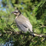 photo of juvenile Cedar Waxwing