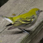 photo of Chestnut-sided Warbler
