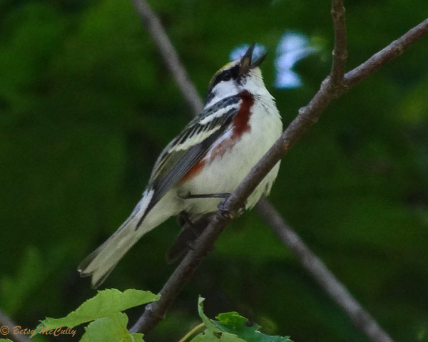 Photo of male Chestnut-sided Warbler