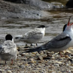 photo of juvenile Common Terns