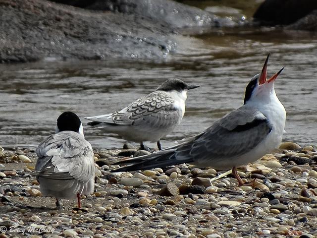photo of juvenile Common Terns