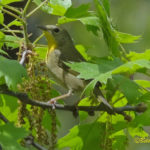 Photo of Common Yellowthroat female