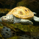 photo of swimming Diamondback Terrapin