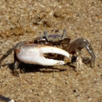 Photo of male fiddler crab
