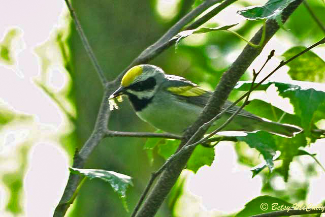 photo of Golden-winged Warbler carrying food